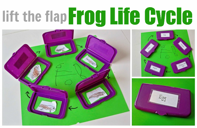 Frog-Life-Cycle-Lesson-and-Craft
