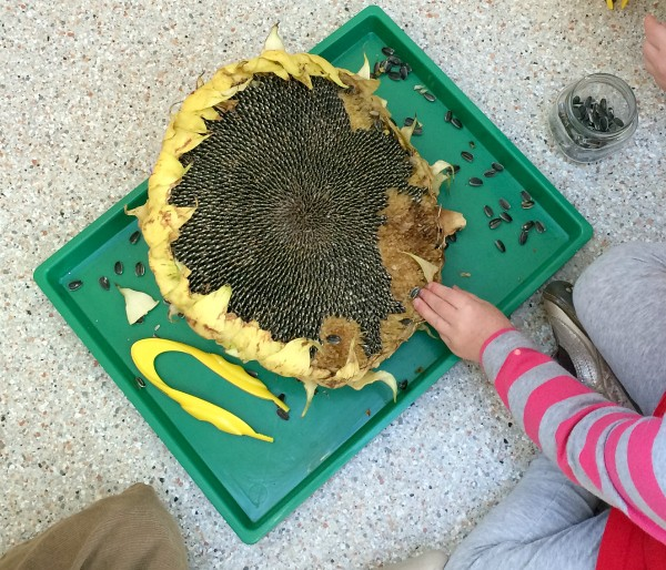 preschool science sunflower