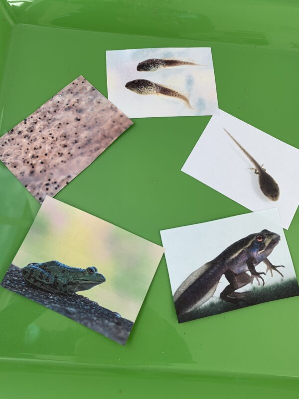 preschool science frog life cycle